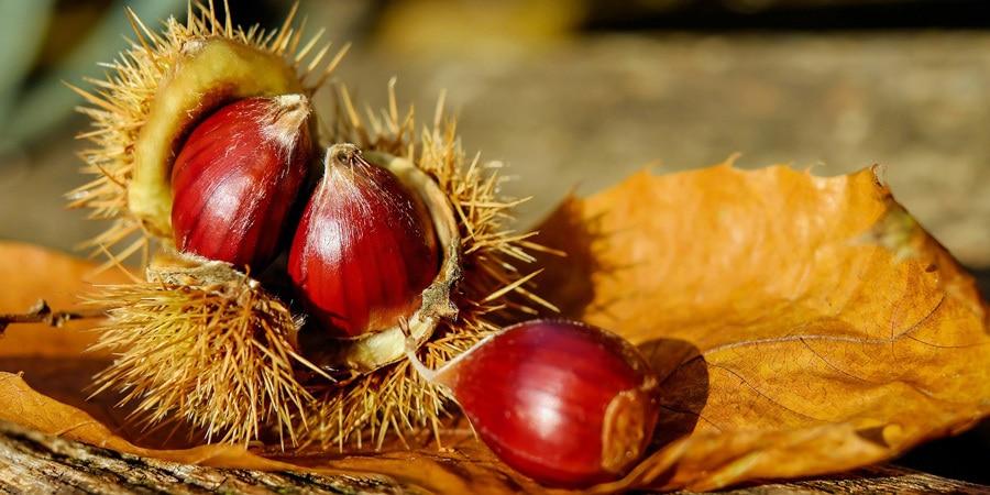 Jedlé kaštany a zdraví