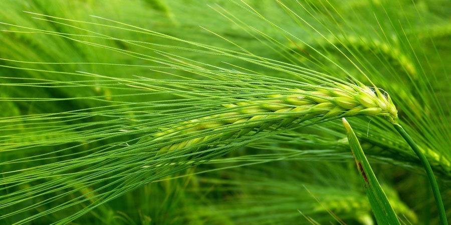 Zelený ječmen a zdraví