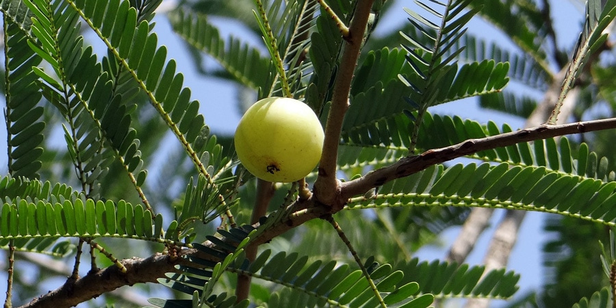 Indický angrešt amla ze stromu amalaki