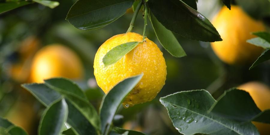 Citrony a zdraví